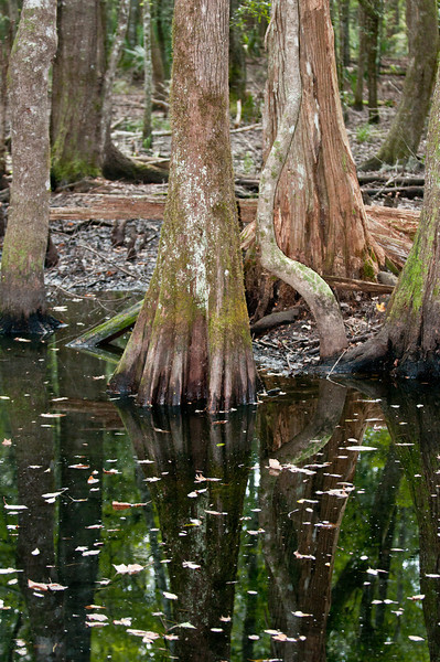 Caw Caw Interpretive Center - Cypress Tree Trunks