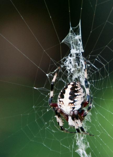 Audubon Swamp Gardens at Magnolia Plantation and Gardens - Crab-like Orb Weaver Spider