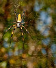 Audubon Swamp Gardens at Magnolia Plantation and Gardens - Gold Silk Spider