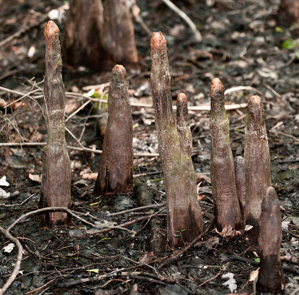 Caw Caw Interpretive Center - Cypress Knees