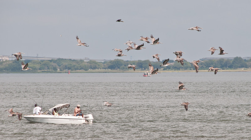 Brown Pelicans just hanging around Fort Sumter on the Cooper River