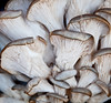 Farmer's Market at Marion Square - Oyster Mushroom