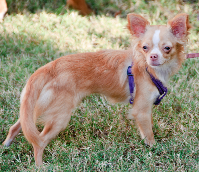 Farmer's Market at Marion Square - Long-haired Chihuahua