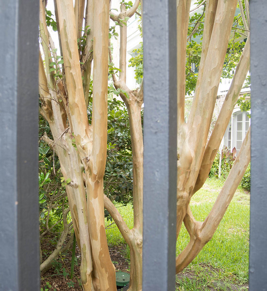 A tree common on Charleston.