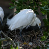 Snowy egret pair and their egg.