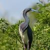 Tricolor heron.