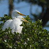 Nestling great egrets.