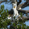 Feeding time at the great egret nest.