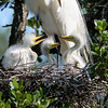 Great egret nest with 3 young awaiting lunch.