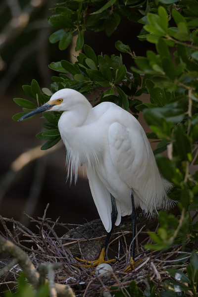 Snowy egret with her egg at her nest.