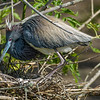 Tricolor heron with her eggs.