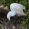 Snowy egret adding to the nest.