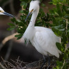 Snowy egret pair transferring stick to add to their nest.