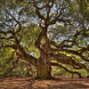 Angel Oak near Charleston, South Carolina