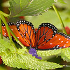 Cypress Gardens Butterfly