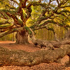Limb Crazy - Angel Oak