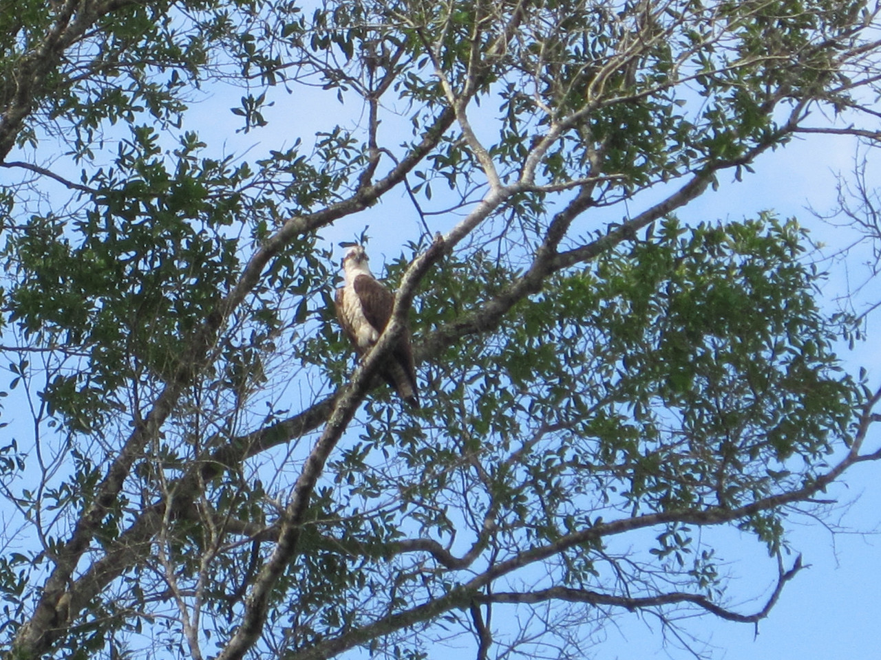 Osprey watching over us.....