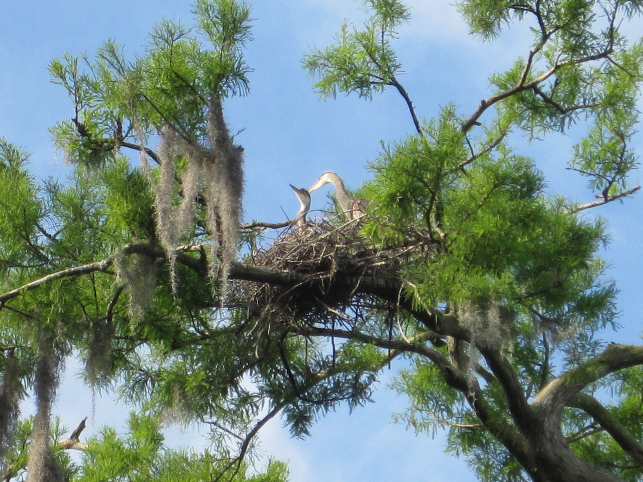 Great herrings nesting above us, as we traveled the river and some of its tributaries.