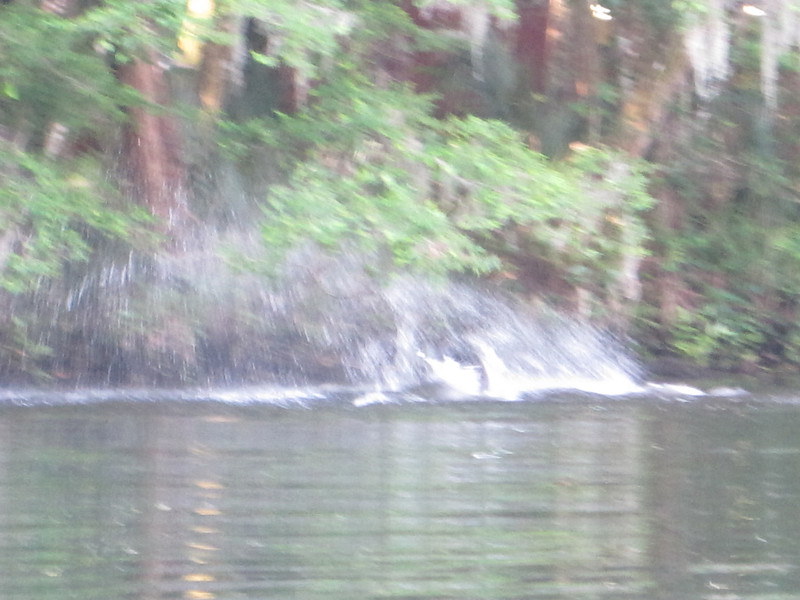 Dolphin herding the fish next to the mangroves, searching%2