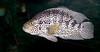 Tennessee Aquarium - Guapote
