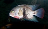 Tennessee Aquarium - Belted cichlid