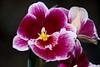 Tennessee Aquarium - Miltoniopsis Orchid