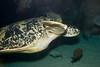 Tennessee Aquarium - Green Sea Turtle