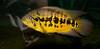 Tennessee Aquarium - Tiger guapote