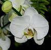 Tennessee Aquarium -  Moth or Phalaenopsis Orchid