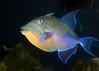 Tennessee Aquarium - Queen triggerfish
