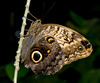 Tennessee Aquarium - Giant Owl Butterfly