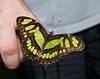 Tennessee Aquarium - Malachite butterfly