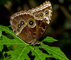 Tennessee Aquarium - Southern Pearly- eye Butterfly