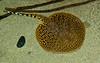 Tennessee Aquarium - Tiger Stingray