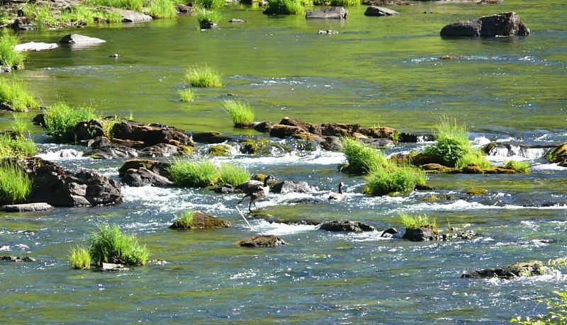 Ducks work their way upstream on the Umpqua.