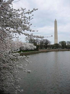 Cherry Blossoms + Washington Monument (Andy's pic)