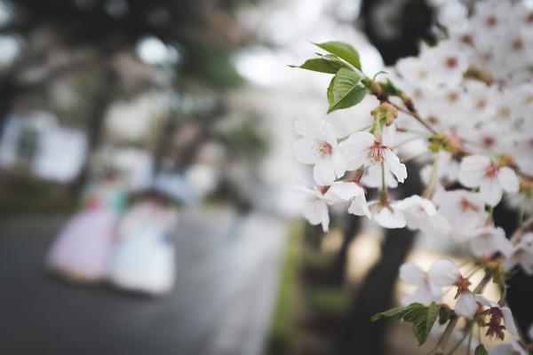 Cherry Blossoms 2018