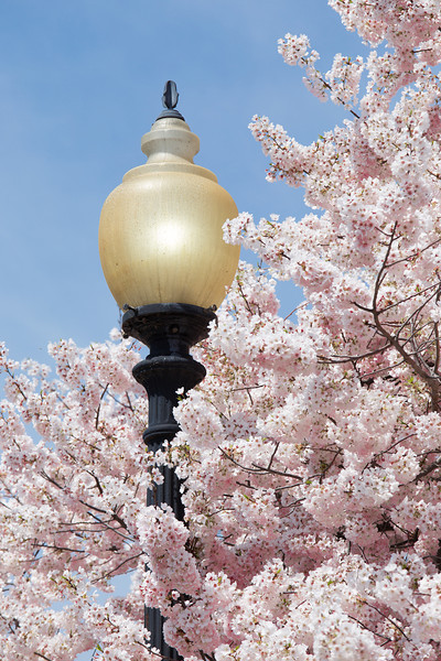 A different kind of lamp peeks out from blooming sakura.