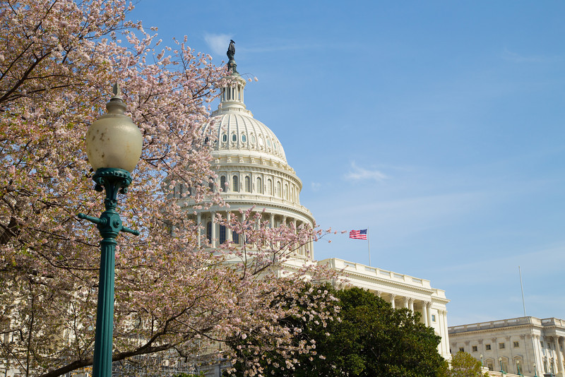 Sakura at the Capitol
