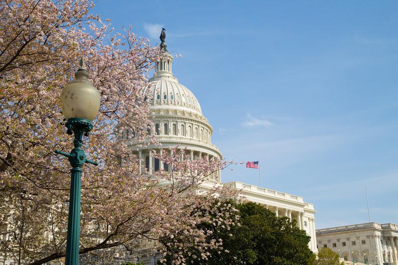 Sakura at the Capitol