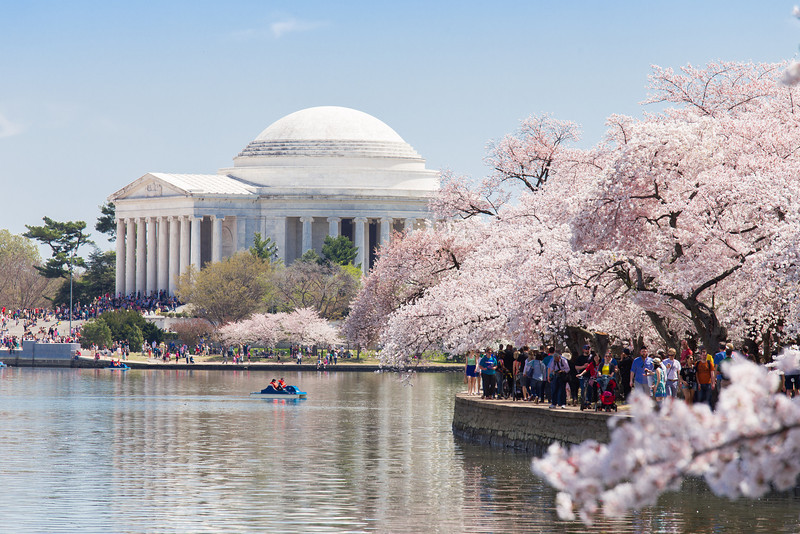 Sakura in full bloom line the shores of the tidal basin.