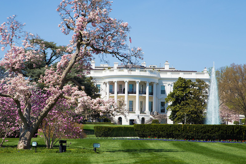 Sakura in bloom at the White House.