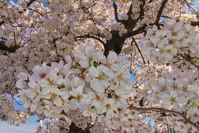 Cherry blossoms, full bloom