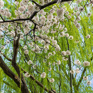 Cherry Blossoms and Willows