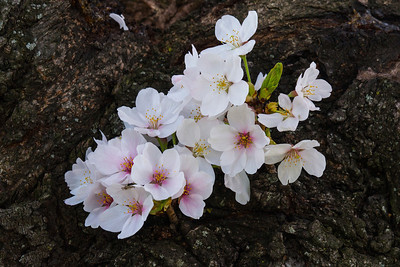 Blossom on Trunk