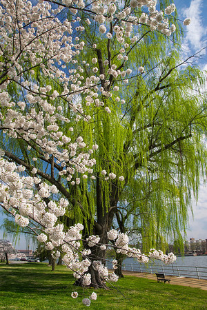 Blossoms and Willows