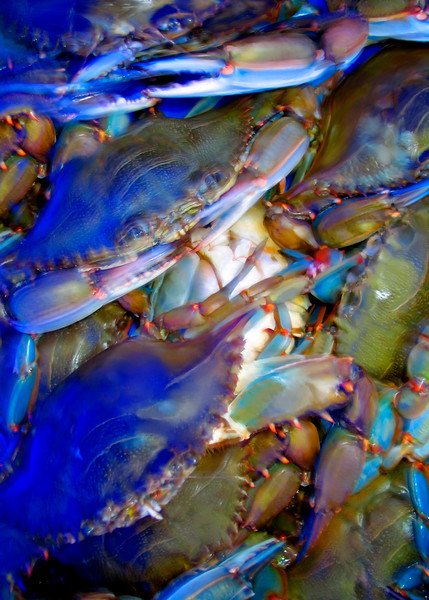Chesapeake Bay's most famous resident, the Blue Crab, all ready for Old Bay and the steampot.
