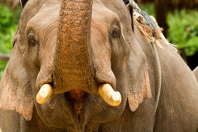 Mae Sa elephant