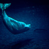 Title: Dive Deep<br /> Date: November 2010<br /> Beluga Whale