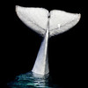 Title: What a Fluke<br /> Date: November 2010<br /> The tail of the of a Beluga Whale at the Shedd Aquarium.